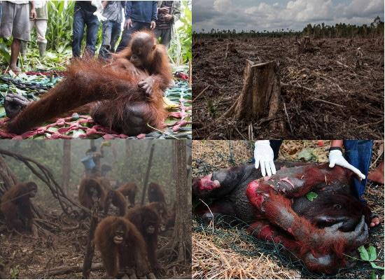 conseguenze deforestazione olio di palma