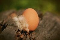 uovo gallina piuma