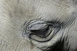 lacrima di un elefante triste