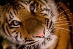 sguardo compassione tigre