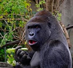 gorilla muscoloso che si nutre di proteine vegetali